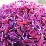 صادرات انواع دمنوش گل گاوزبان ایرانی