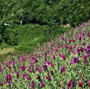 بسته بندی انواع دمنوش گل گاوزبان قزوین