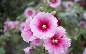 گل پنیرک صحرایی
