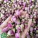 فروش عمده غنچه گل محمدی صادراتی