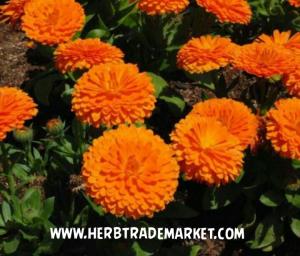 قیمت گل همیشه بهار