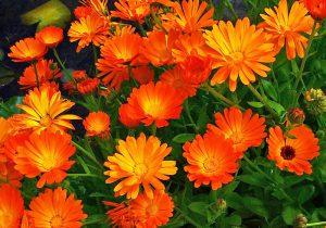 خرید عمده گل همیشه بهار خشک شده